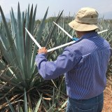 Mexican farmer measuring an agave plant, with his back turned to the camera