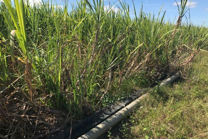 Pipes run along sugarcane crop.