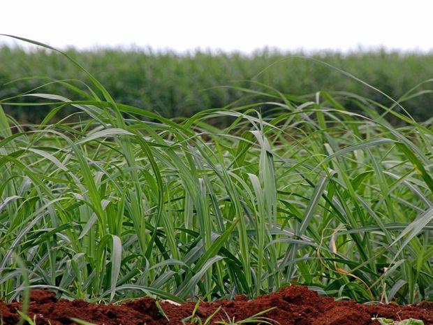 Bundaberg's rich economy is built on the backbone of the region's sugar cane.