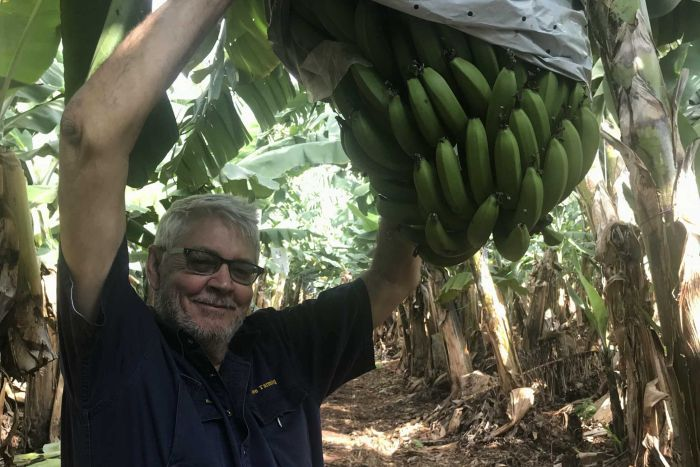 Banana grower Denis Howe reaches up to his banana crop.